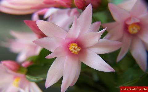 osterkaktus-rosa-3.jpg